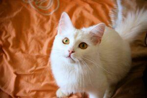 micio bianco guarda