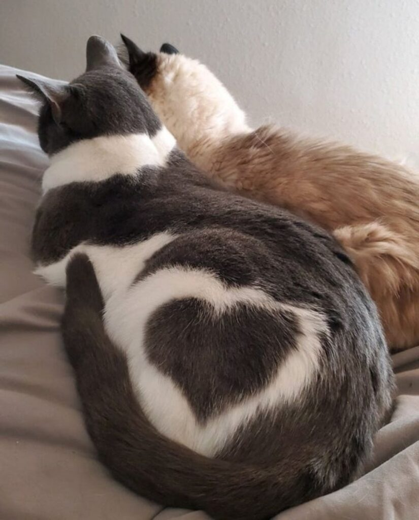 gatti cuore pelo