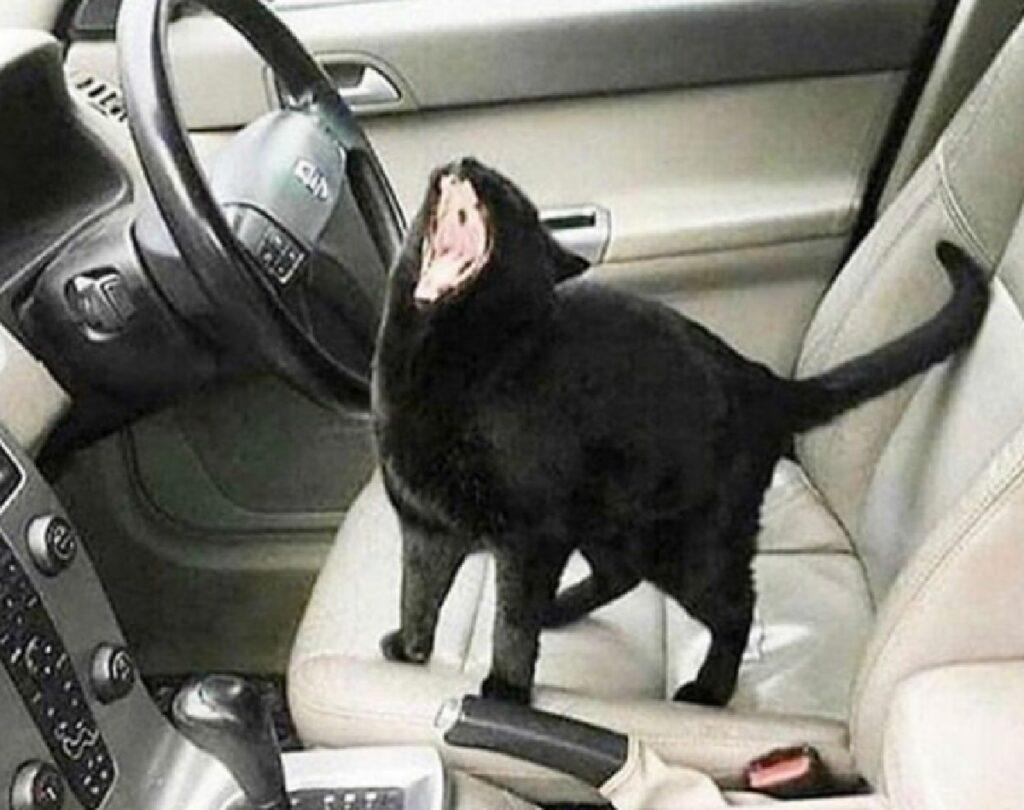 gatto nero sul sedile anteriore