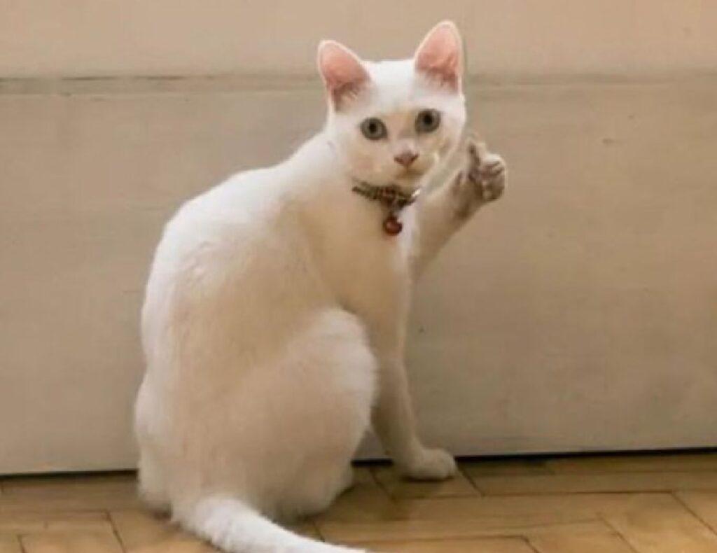 gatto alza pollice come umani