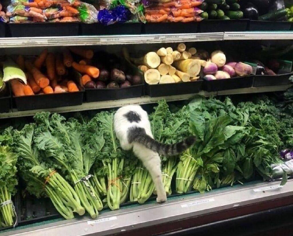 gatto si infila verdura