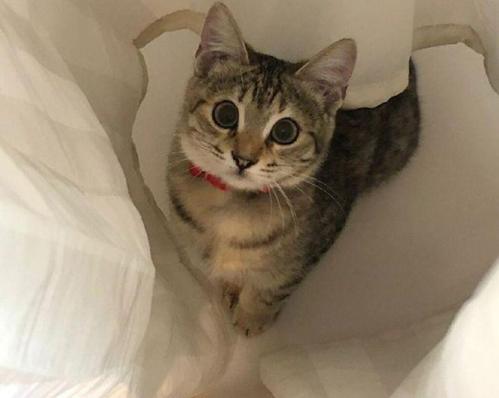 gatto collare rosso tende