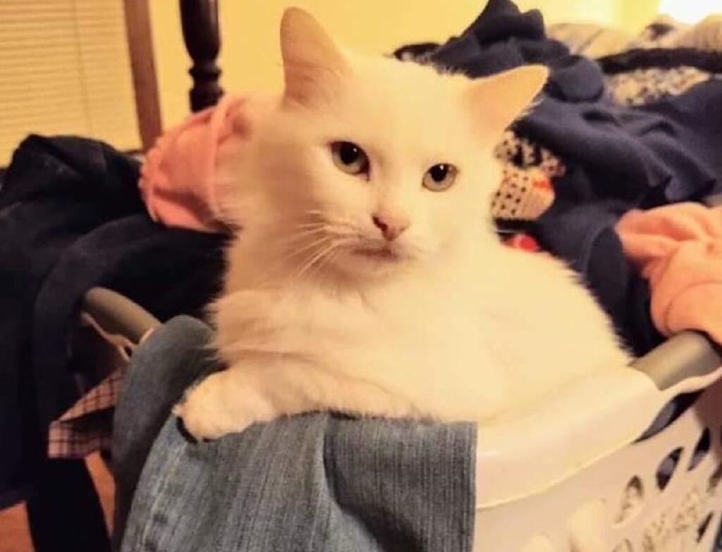 gatto bianco vasca vestiti