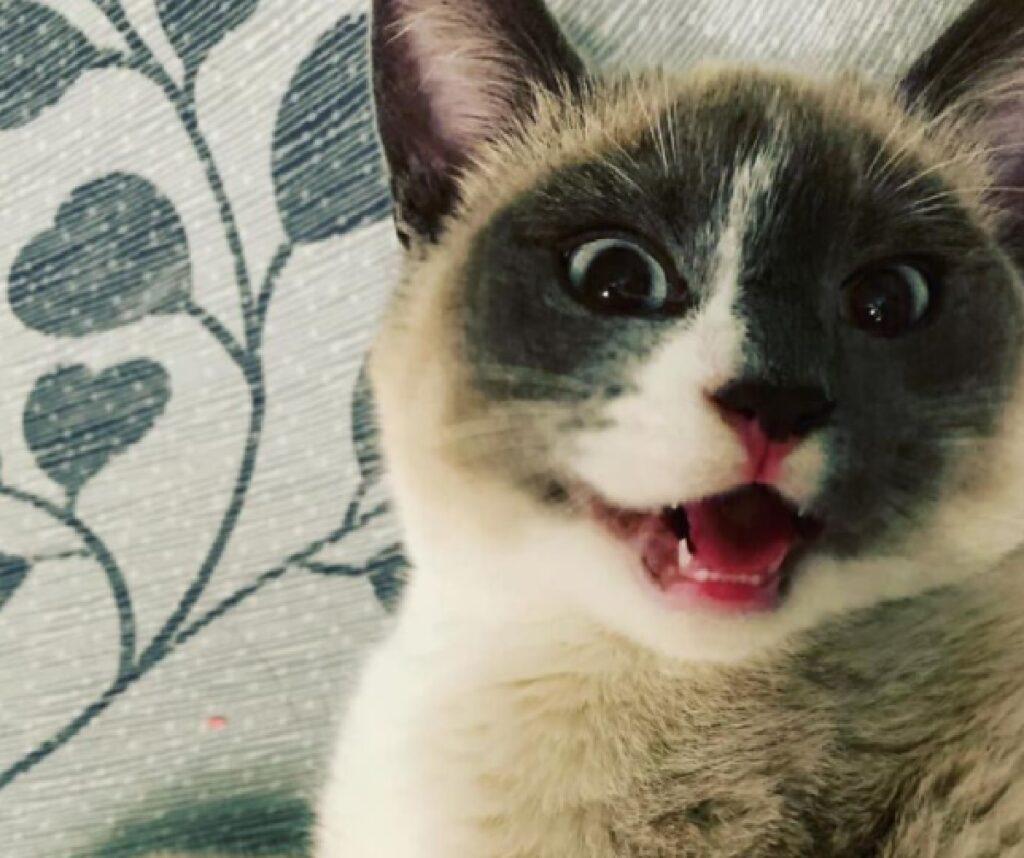 gatto apre bocca felice