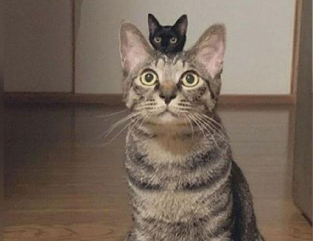 gatto grande con gatto nero piccolo