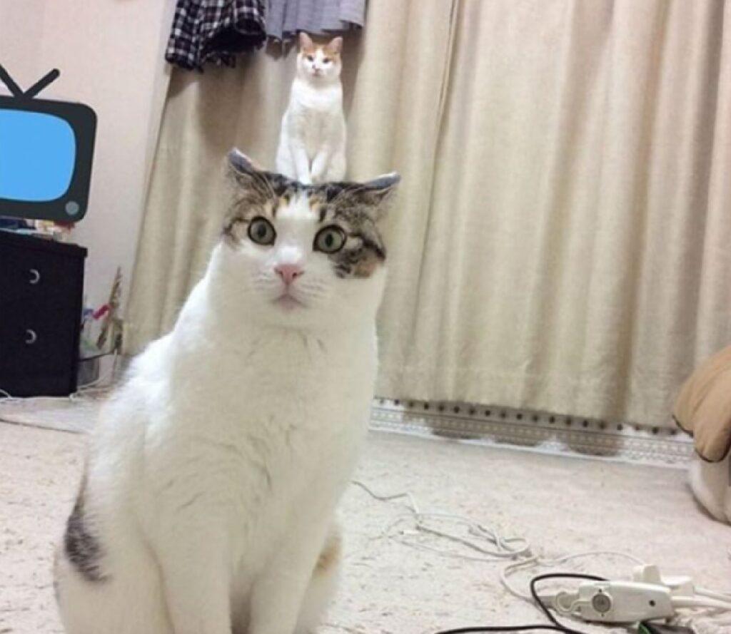 gatto proporzione esagerata