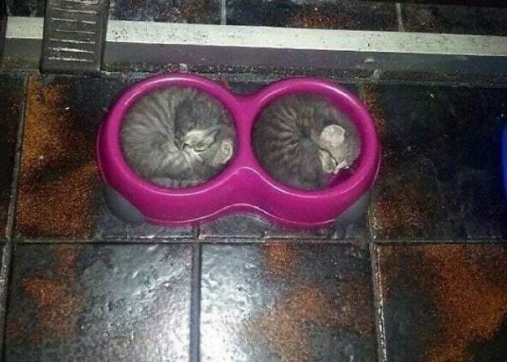 gatti coppia dentro ciotola