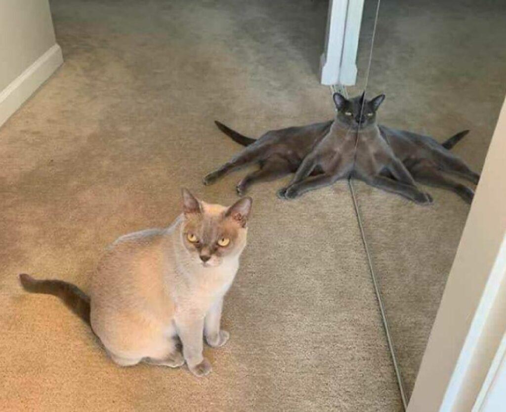 gatto davanti specchia doppiato