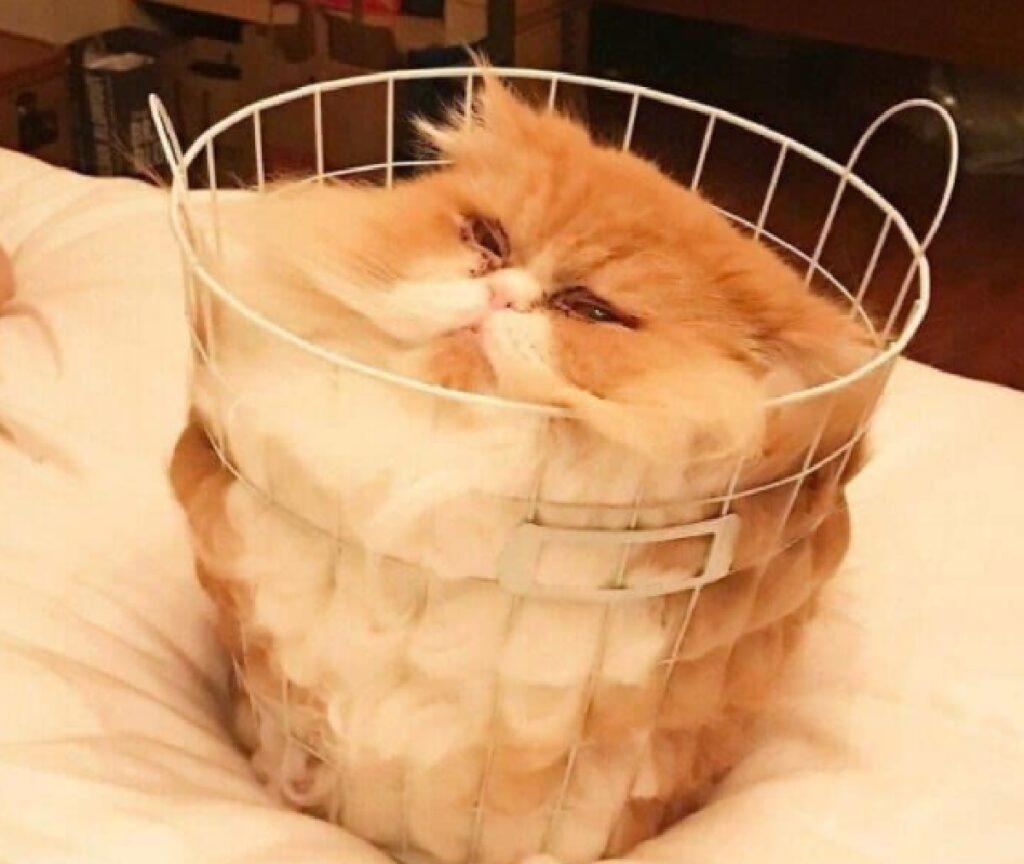 gatto persiano dentro cesta