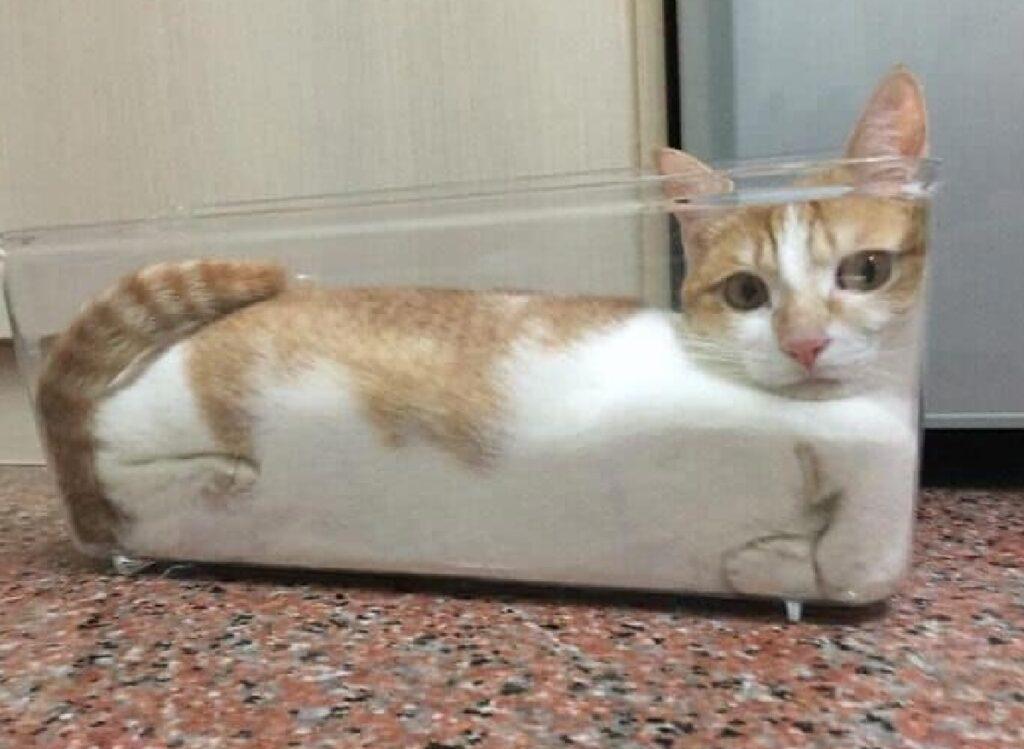 gatto dentro vaschetta vetro