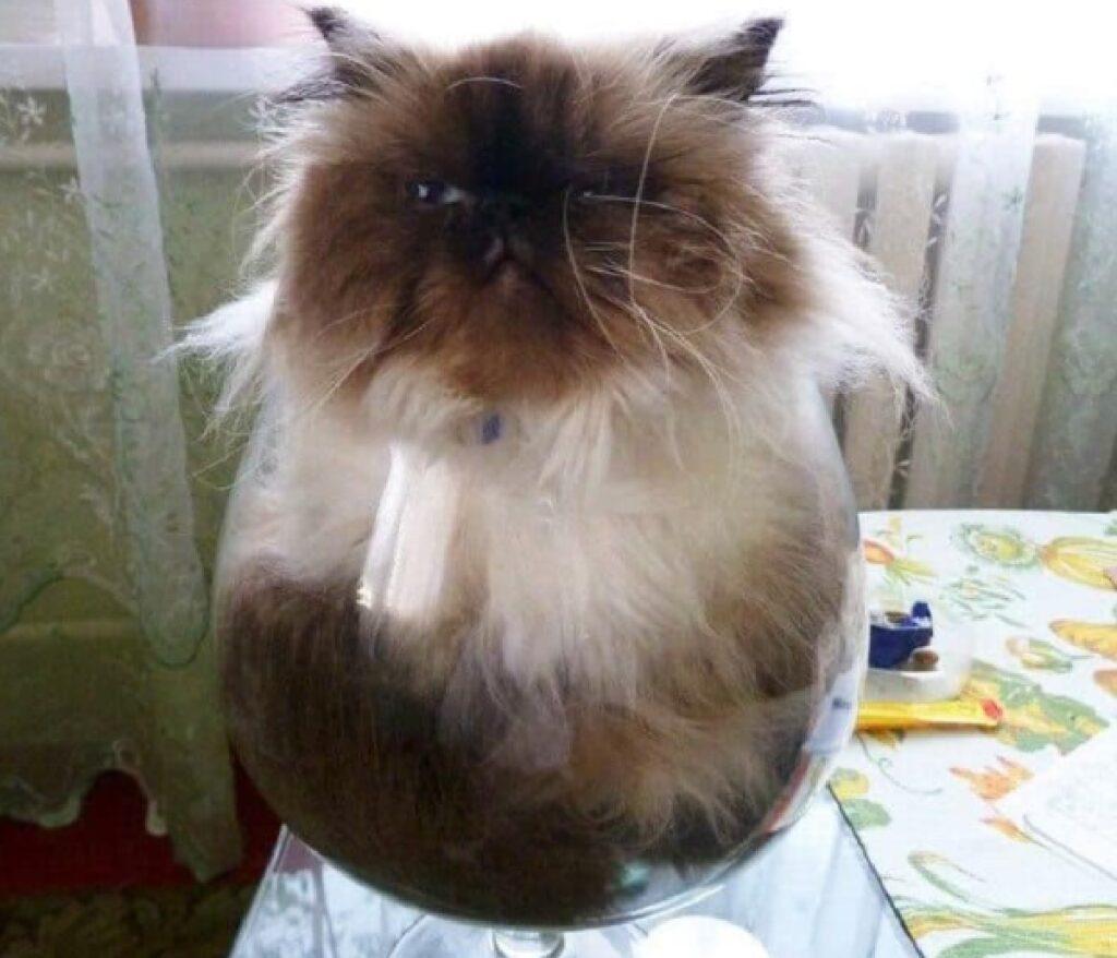 gatto persiano incastrato