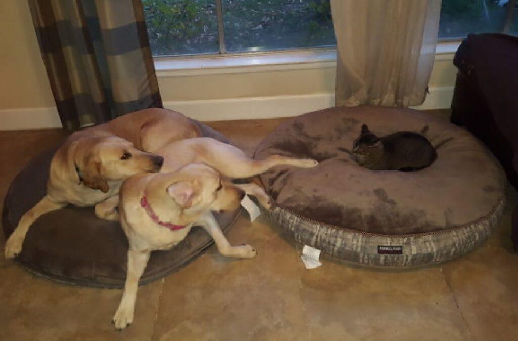gatto nero su cuscino di cani