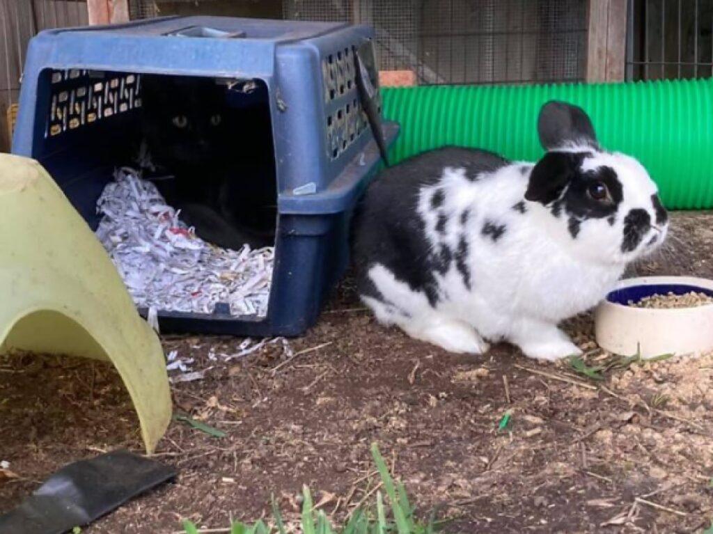 gatto ruba casetta del coniglio