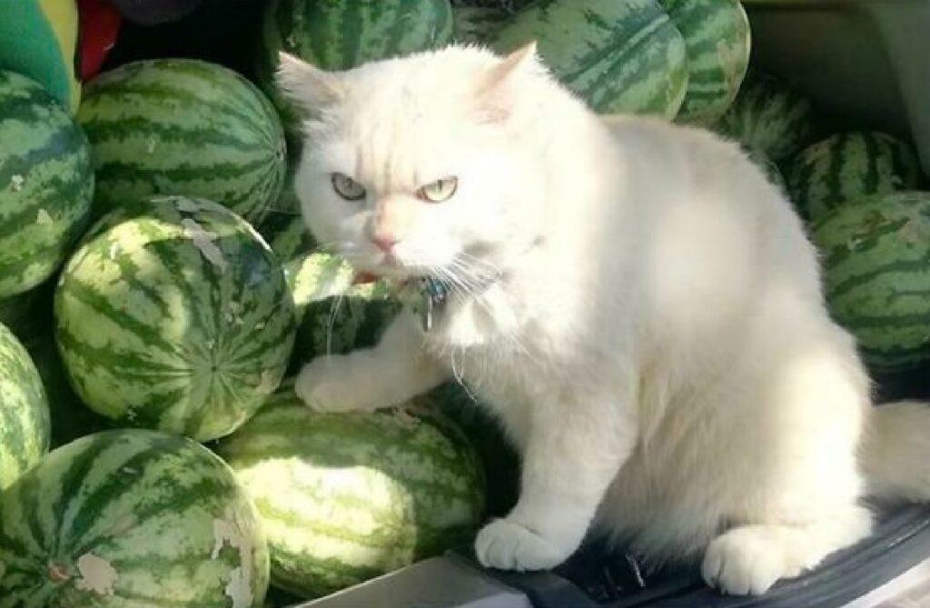 gatto supervisiona angurie