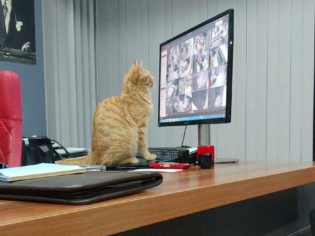 gatto supervisione telecamere