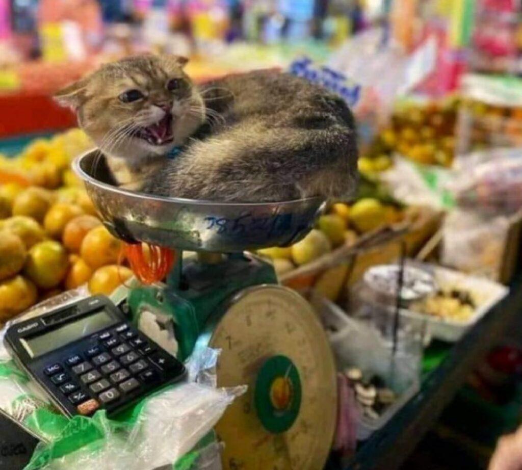 gatto su bilancia frutta verdura