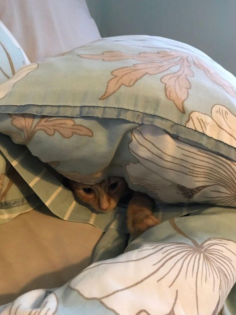 felino dentro cuscino