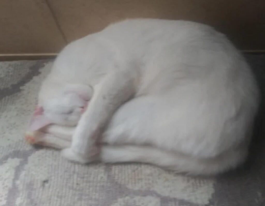 gatto bianco posizione riposino