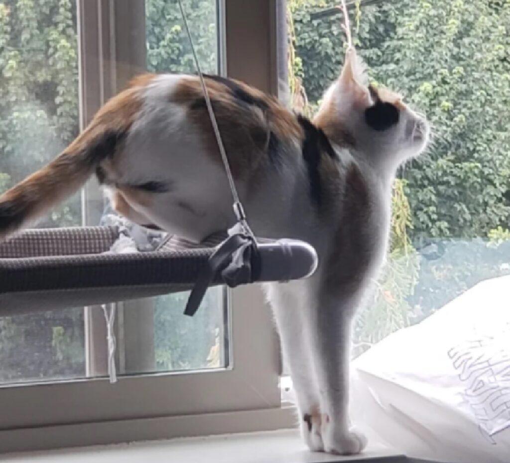 gatto zampe posteriori rialzate