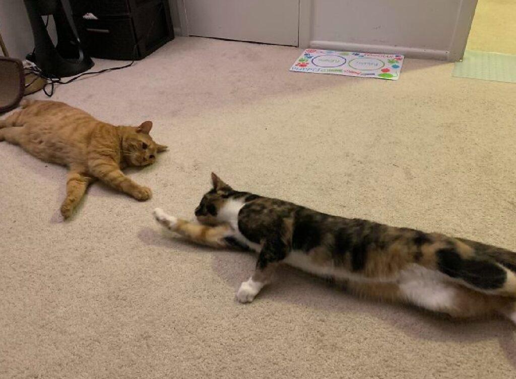 gatti cercano di toccarsi