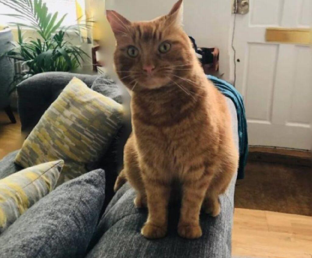 gatto rosso sul divano di casa