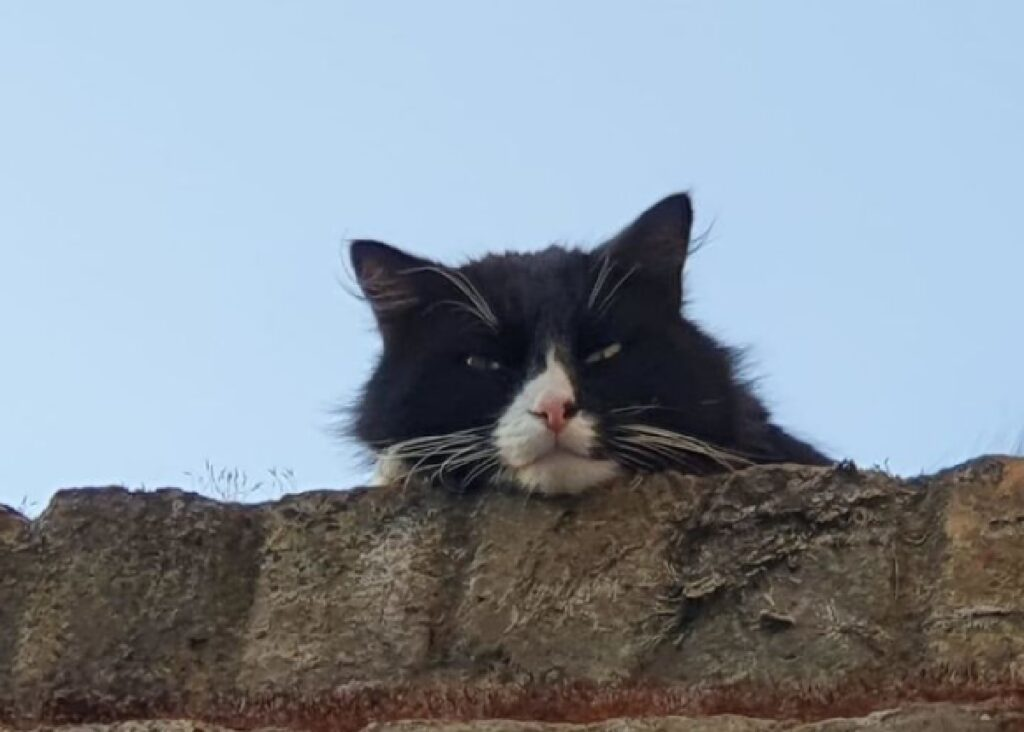 gatto bianco nero osserva