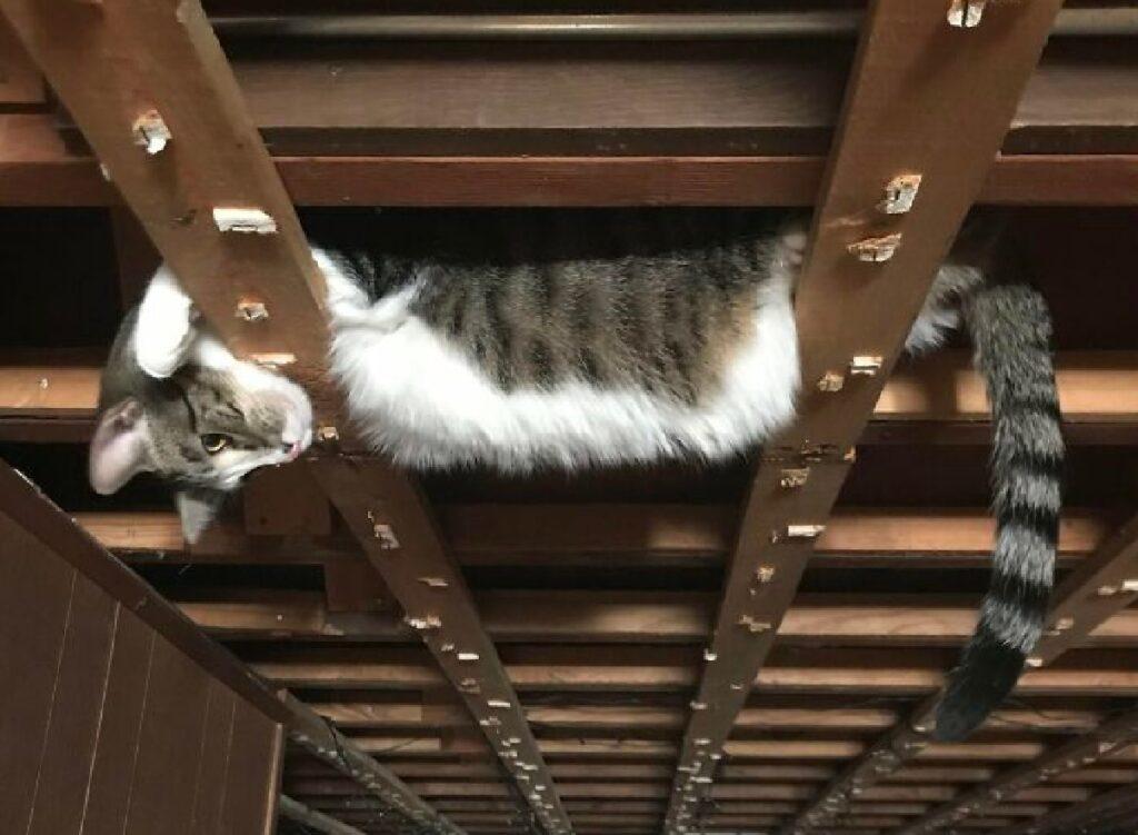 gatto soriano pelo tigrato
