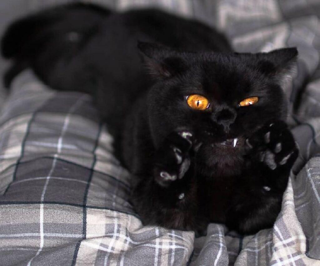 gatto nero zampe alzate