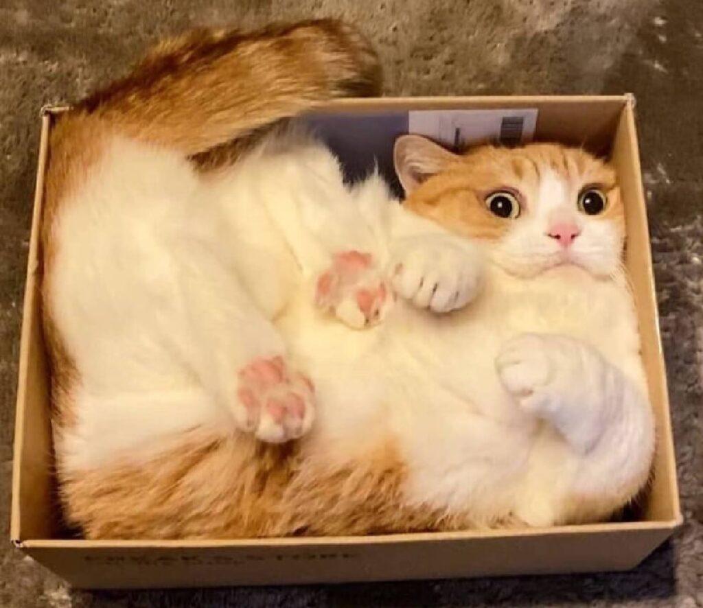 gatto bianco rosso dentro scatola
