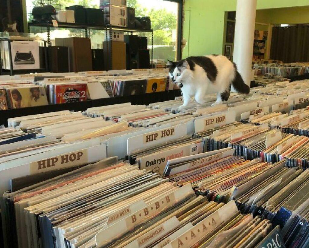 gatto cammina sopra dischi