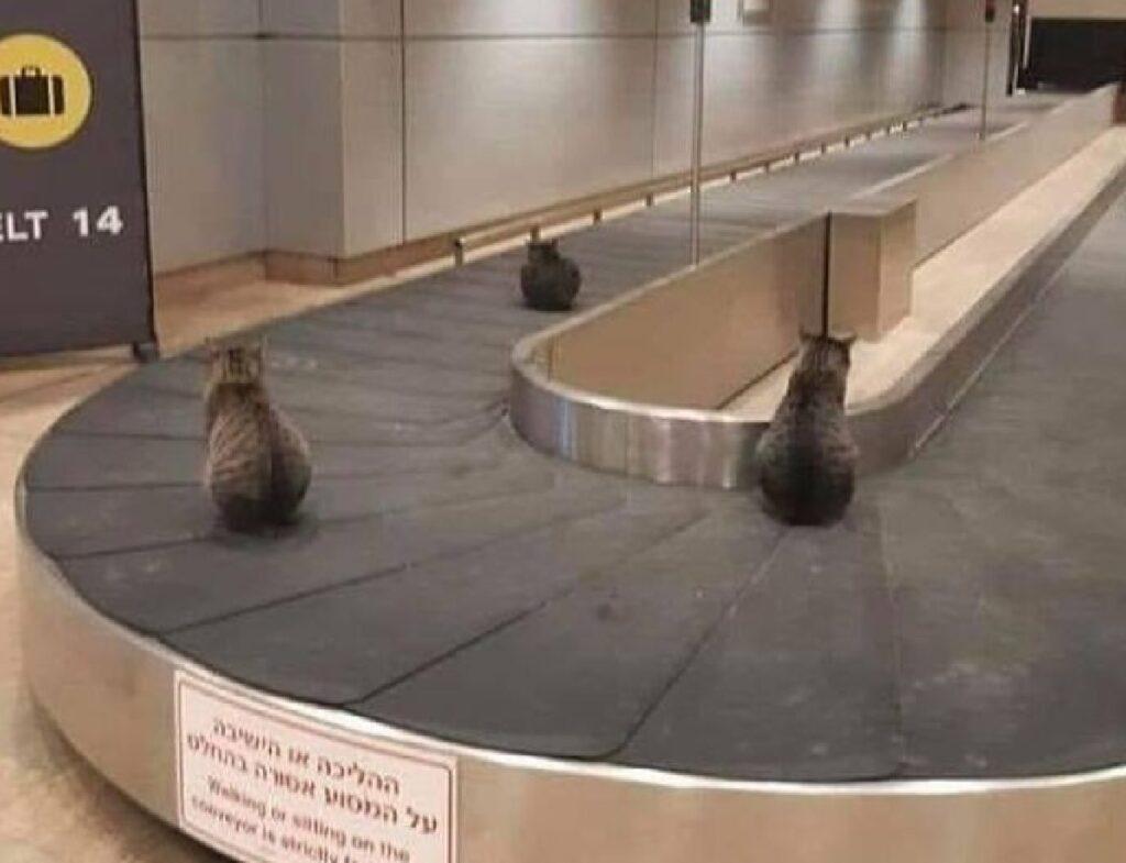 gatti aeroporto rullo