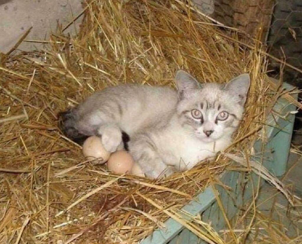 gatto cova le uova