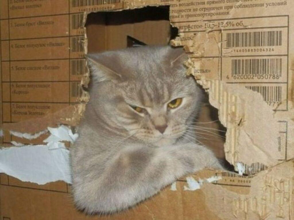 gatto cartone scatola