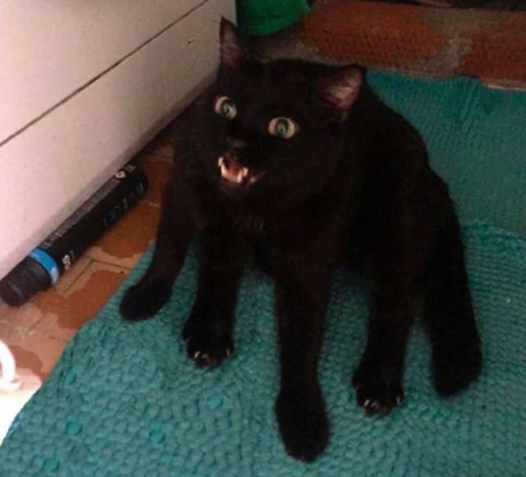 gatto ha più di 4 zampe