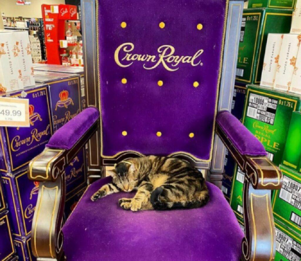 gatto soriano su trono viola