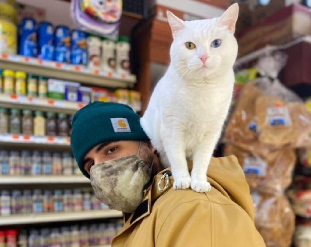 gatto con eterocromia pelo bianco