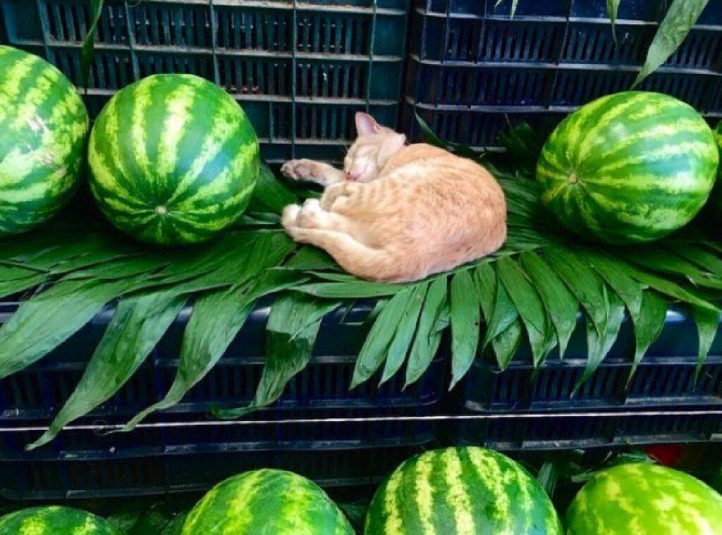 gatto al posto di anguria