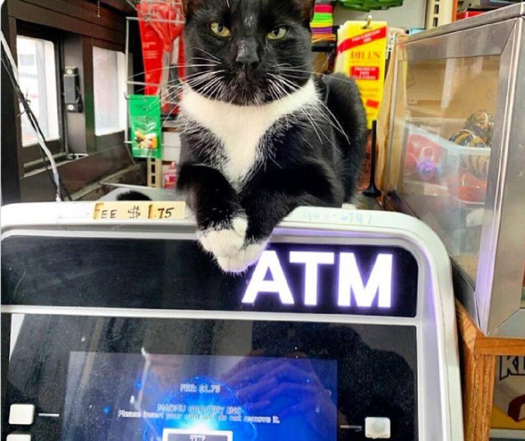 gatto tuxedo sopra macchina cambio
