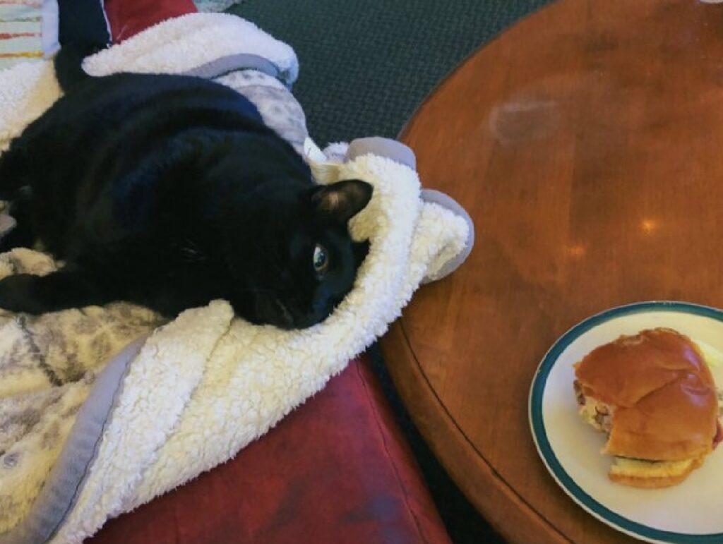 gatto guarda il cibo ammirazione