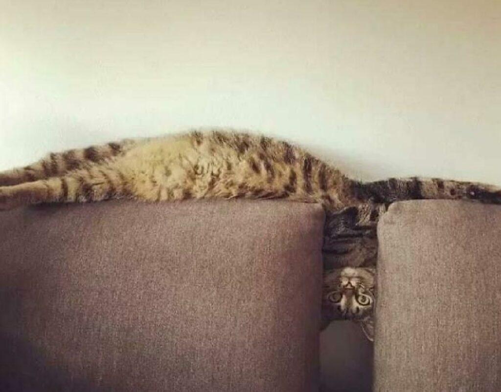 gatto piegato come molla