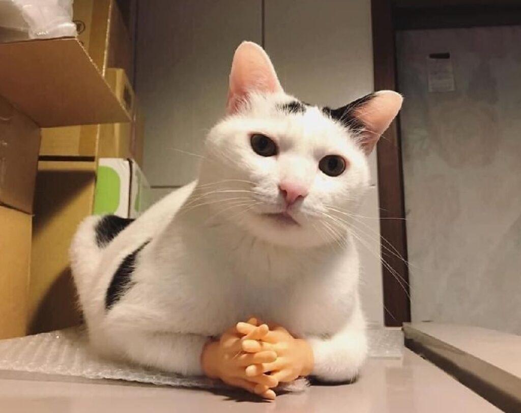 gattino bianco nero mani