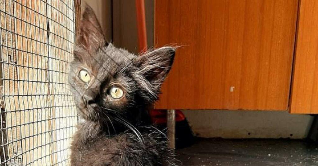 gattino dal pelo completamente nero