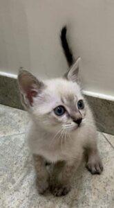 gatto bianco con occhi azzurri