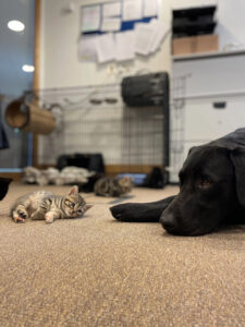 gattino e labrador allungati