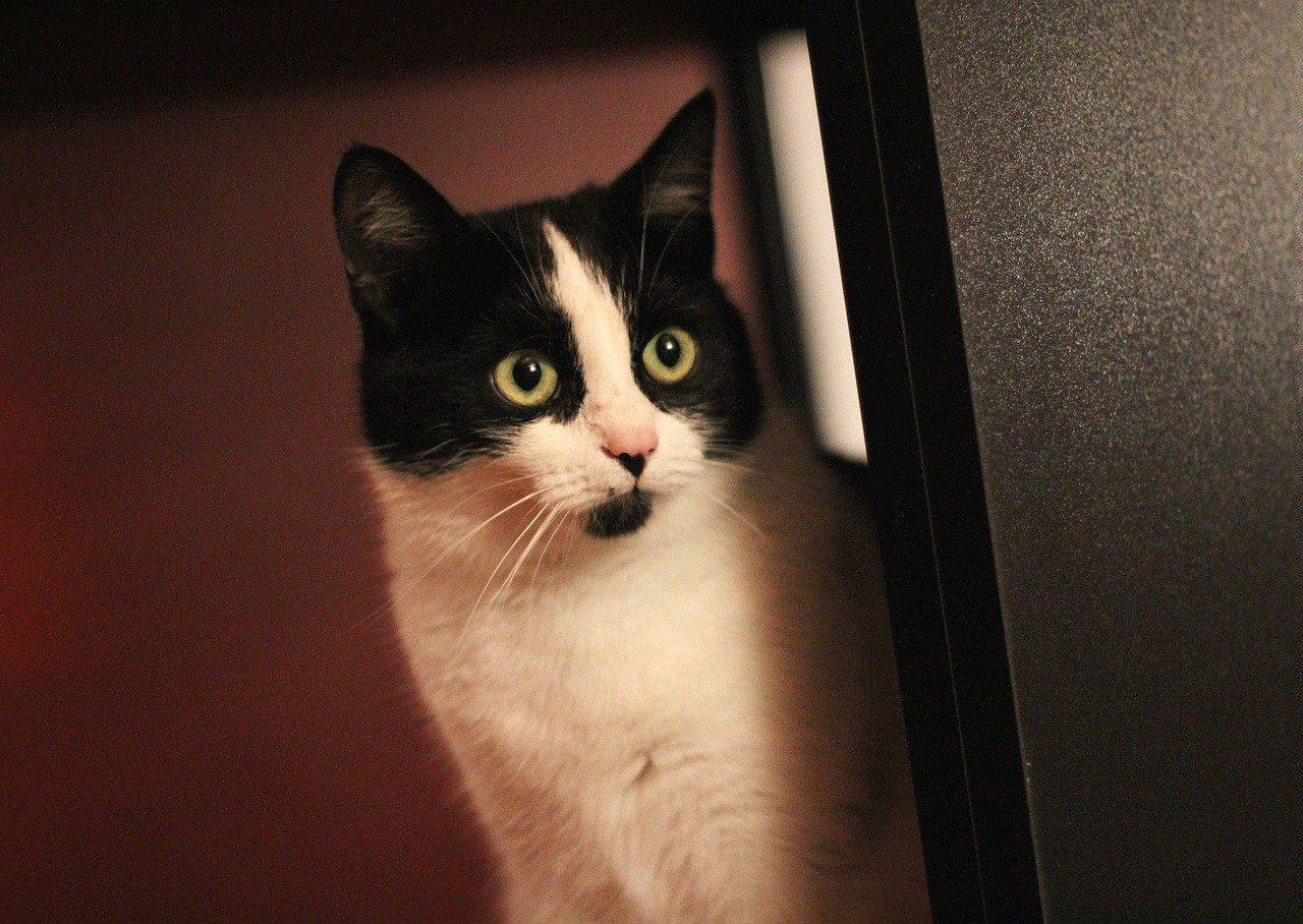 gatto osserva qualcosa