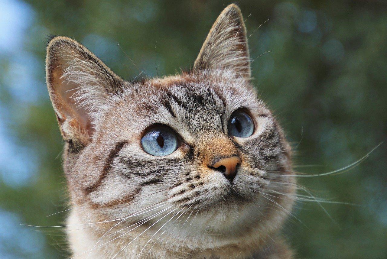 gatto occhi grandi