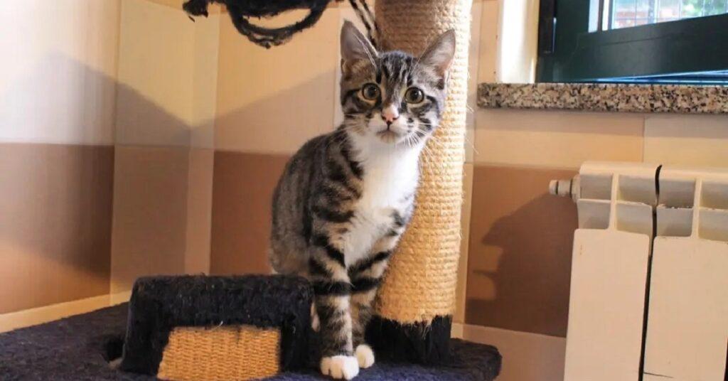 gatto sopra un tiragraffi