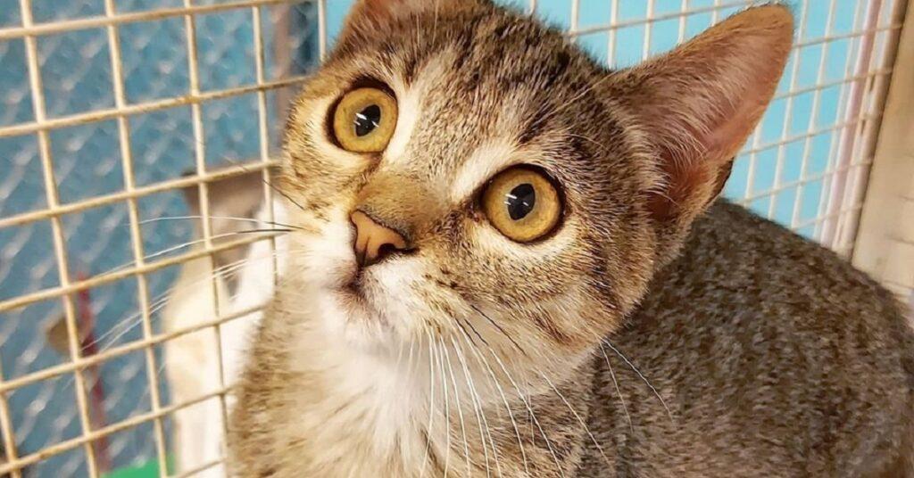 gattina dagli occhi grandi e gialli