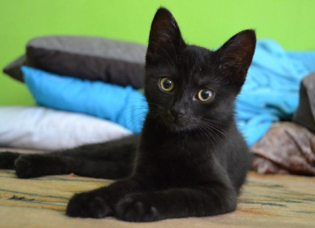 gattino nero occhi verdi