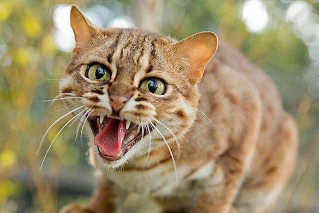 gatto che mostra aggressività